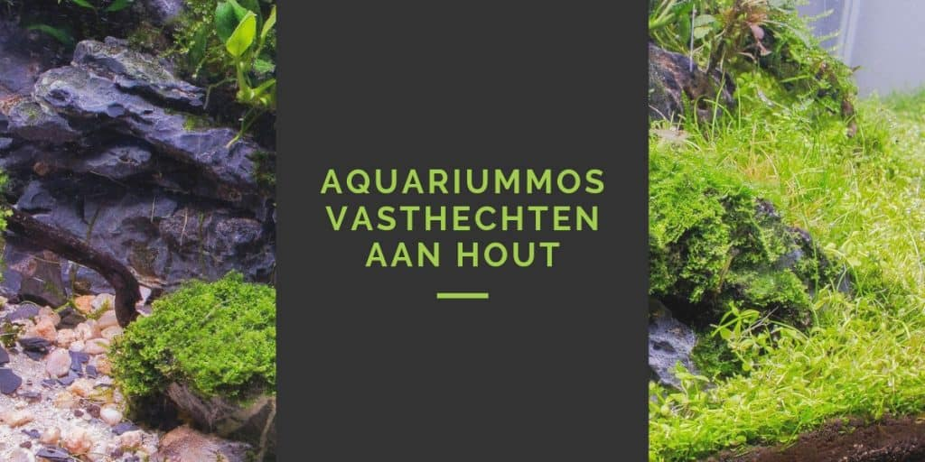 Aquariummos vasthechten