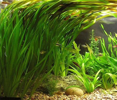 5 Snelgroeiende Aquariumplanten Om Algen Tegen Te Gaan
