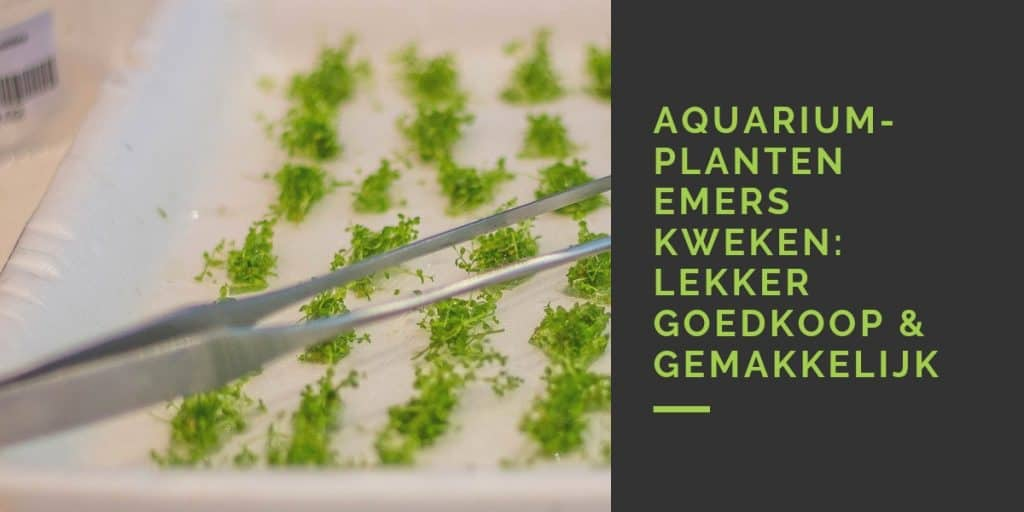 Aquariumplanten emers kweken