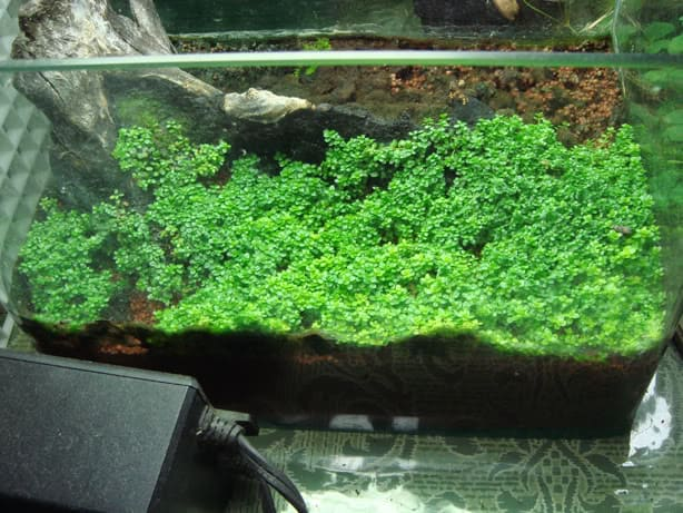 hemianthus callitrichoides emers