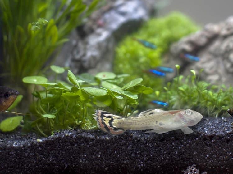 Dode vis aquarium