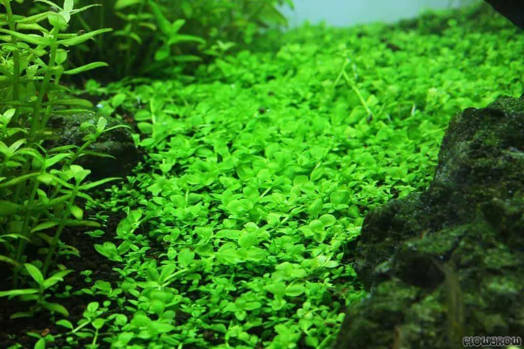micranthemum montecarlo