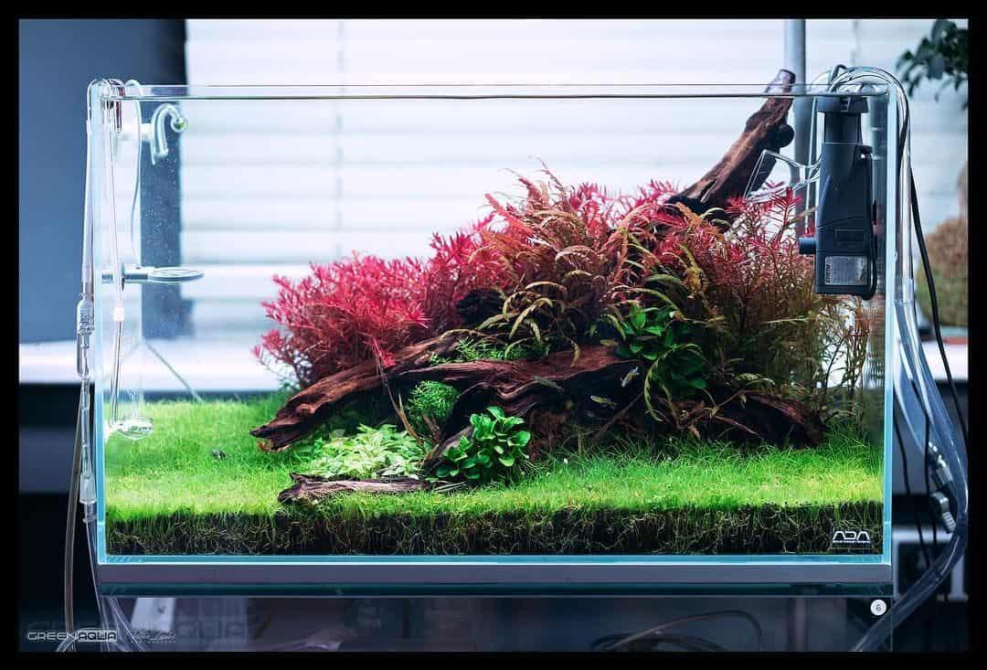 lily pipe aquarium